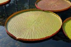 Victoria-Wasser-Mehrlagenplatte Lizenzfreie Stockfotografie