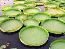Victoria-Wasser-Mehrlagenplatten Stockbild