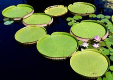 Victoria Water Lilies /Giant vattenuppläggningsfat Arkivfoton