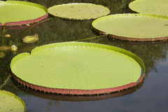 Victoria water lily Stock Photo