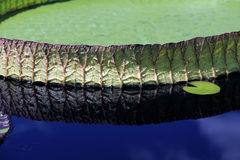 Victoria Water Lily - Amazonica Royalty Free Stock Photos