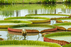Victoria Water Lily Stock Images