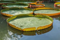 Victoria water lily Royalty Free Stock Photography