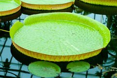 Victoria water lily Stock Photography