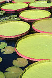 Victoria Water Platters. Gigantic pink and green colored Longwood Hybrid Water Platters floating in a lily pond of still water, with smaller green and brown Royalty Free Stock Photos