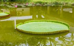 Victoria waterlilies Stock Image