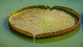 Victoria Waterlily Foto de Stock