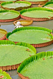 The Victoria Waterlily Stock Images