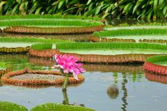 The  Victoria waterlily Stock Image