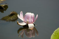 Victoria Waterlily Stock Photography