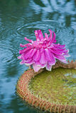 Victoria waterlily Royalty Free Stock Images