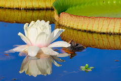 Victoria Waterlily Flower. Victoria waterlily (Victoria cruziana) in Tropical South America stock photography