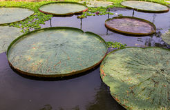 Victoria waterlily Royalty Free Stock Photo