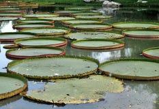 Victoria waterlily i tropisk botanisk trädgård Fotografering för Bildbyråer