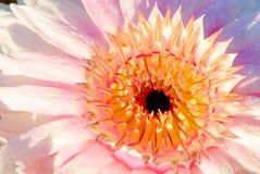 Victoria waterlily kwiat Zdjęcia Stock