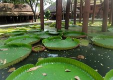Lily pads in the pond under Thailand wooden house Stock Photos