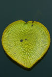 Victoria Waterlily leaf Stock Photos