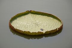 Victoria waterlily leaves Stock Photos