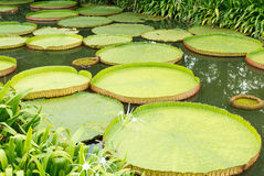 Victoria waterlily leaves Stock Image
