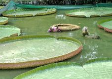 Victoria waterlily no jardim botânico tropical Imagem de Stock Royalty Free