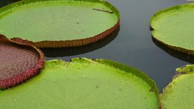 Victoria waterlily on pool. Victoria waterlily on the pool stock video