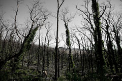 Victorian Bush Fire Regrowth Royalty Free Stock Photography