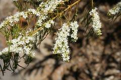 Victorian Christmas Bush, Prostanthera lasianthos Royalty Free Stock Photos