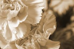Victorian flower. S, sepia tone antique concept stock photos