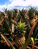 Victorian pineapples farm stock photography