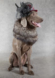 Victorian style Weimaraner dog Royalty Free Stock Photo