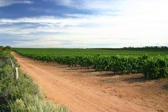 Victorian vineyard. Australian vineyard with dramatic sky full of cirrus clouds.  Mildura, Victoria.  Australia Stock Images
