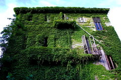 The victory of nature. Deserted house fully covered by ivy creeper Stock Image