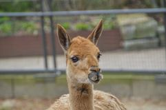 Vicuña στο ζωολογικό κήπο Άμστερνταμ Artis οι Κάτω Χώρες Στοκ Φωτογραφίες