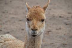 Vicuña στο ζωολογικό κήπο Άμστερνταμ Artis οι Κάτω Χώρες Στοκ φωτογραφίες με δικαίωμα ελεύθερης χρήσης