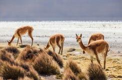 Vicuña dans l'Altiplano chilien Photographie stock libre de droits