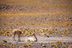 Vicuña dans l'Altiplano chilien Image libre de droits