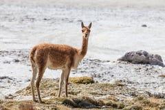 Vicuña dans Salar de Surire Image libre de droits