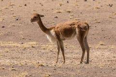 Vicuña från den peruanska altiplanoen på halv klippning royaltyfri fotografi