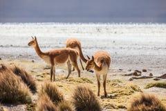 Vicuña no Altiplano chileno Imagem de Stock Royalty Free