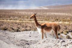 Vicuña no Altiplano chileno Imagens de Stock