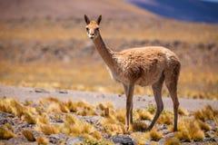 Vicuña no Altiplano chileno Fotos de Stock Royalty Free