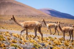 Vicuñas dans l'Altiplano chilien Photographie stock libre de droits