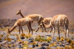 Vicuñas im chilenischen Altiplano Lizenzfreies Stockfoto