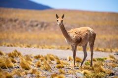 Vicuñas no Altiplano chileno Fotos de Stock Royalty Free