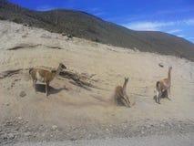 Vicuñas,南美camelids 免版税图库摄影