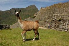 Vicuña гуляя Machu Picchu Стоковое Фото