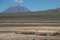 Vicuña смотря к Андам Стоковая Фотография