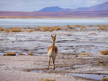 Vicuña auf altiplano stockfotografie