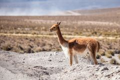 Vicuña in the Chilean Altiplano Stock Images