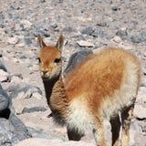 Vicuña en Bolivia Fotos de archivo libres de regalías